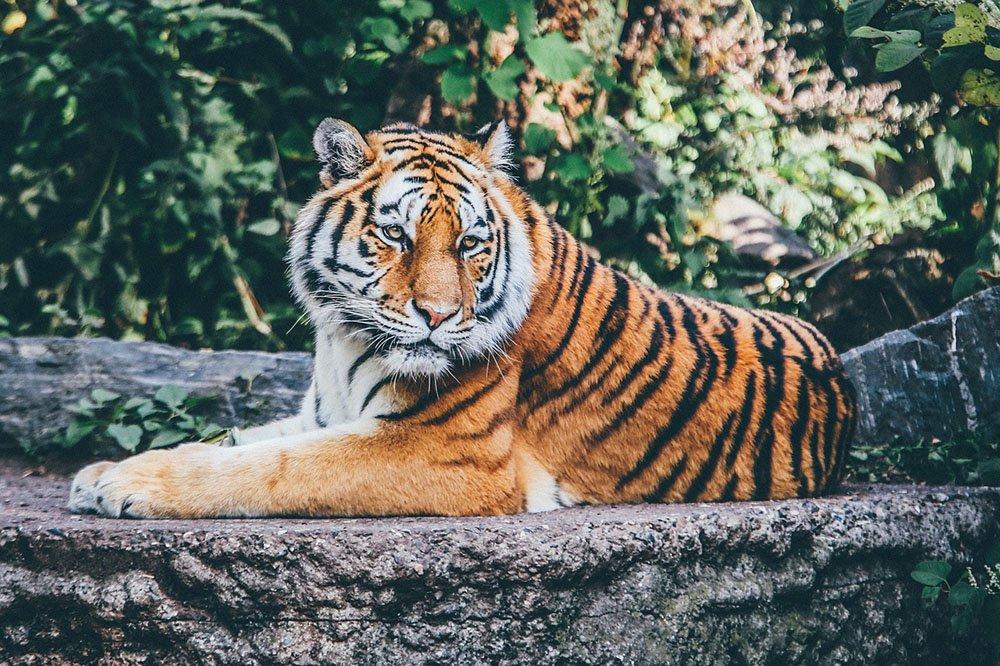 tiikeri uhanalaisuus