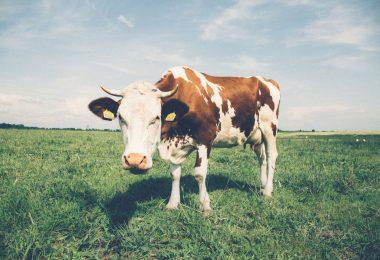 faktoja lehmistä