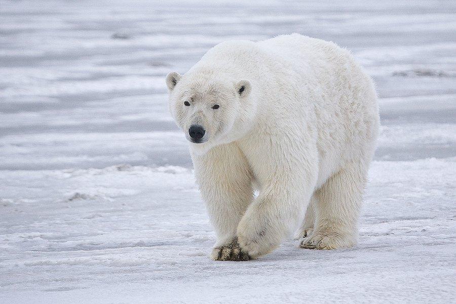 jääkarhu faktoja